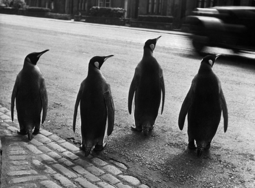 GREAT-BRITAIN. 1950. Scotland region. Town of Edinburgh. Penguins from the zoo taking their weekly walk. The director of the zoo walks them through the city every week in order to attract people to the zoo.